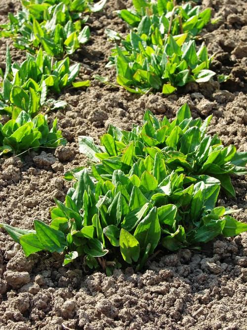 Выращивание щавеля - полезные свойства щавеля (5)