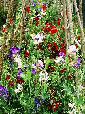 Душистый горошек - вьющиеся цветы (1)