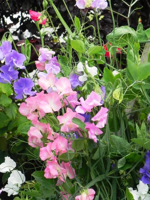 Душистый горошек - вьющиеся цветы (3)