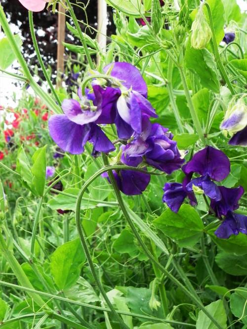 Душистый горошек - вьющиеся цветы (5)