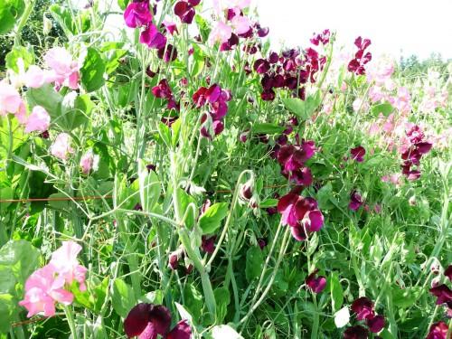 Душистый горошек - вьющиеся цветы (7)