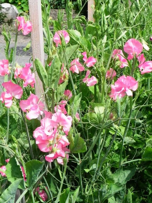 Душистый горошек - вьющиеся цветы (9)