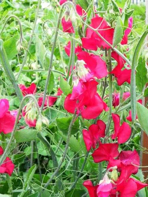 Душистый горошек - вьющиеся цветы (11)