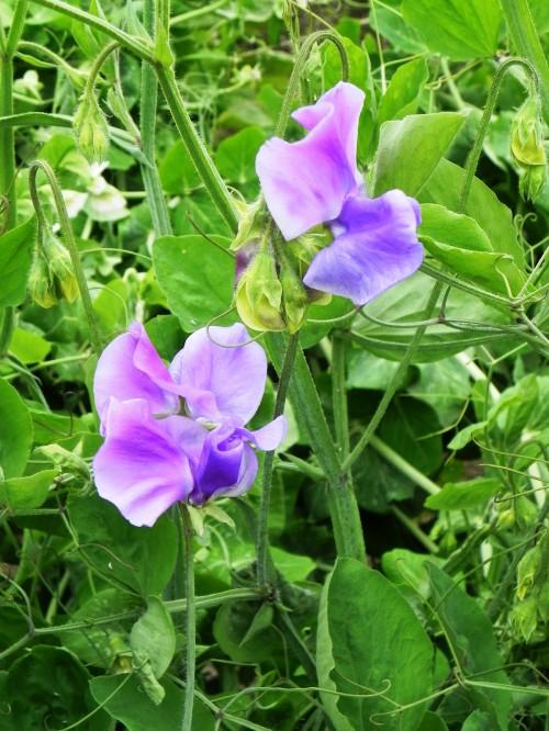 Душистый горошек - вьющиеся цветы (12)