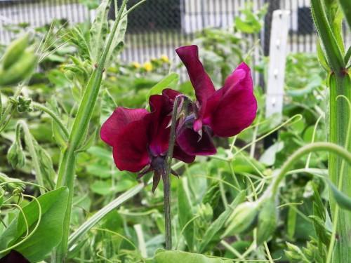 Душистый горошек - вьющиеся цветы (13)