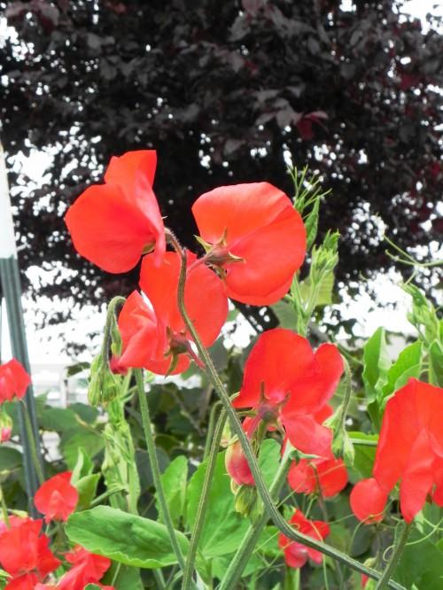Душистый горошек - вьющиеся цветы (14)
