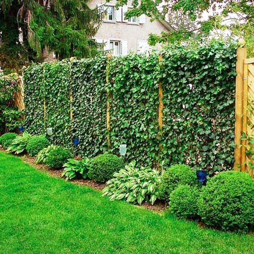 Живая изгородь на даче - растения для живой изгороди (22)