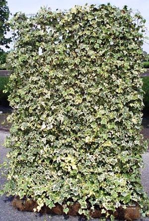 Живая изгородь на даче - растения для живой изгороди (4)