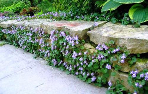 Живая изгородь на даче - растения для живой изгороди (7)