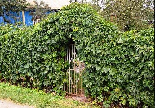 Живая изгородь на даче - растения для живой изгороди (10)