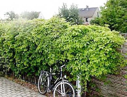 Живая изгородь на даче - растения для живой изгороди (13)