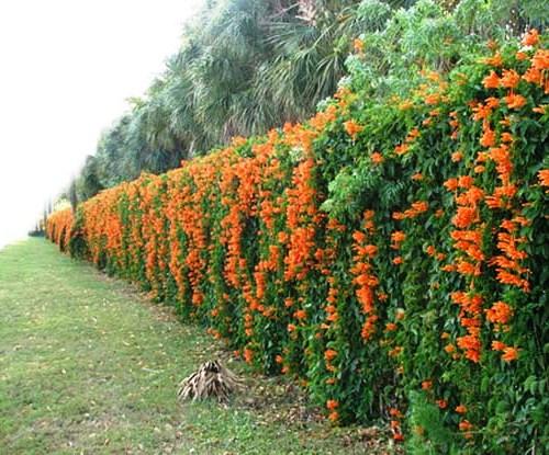 Живая изгородь на даче - растения для живой изгороди (16)