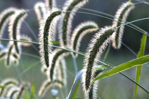 Фитонциды растений - защита сада (15)