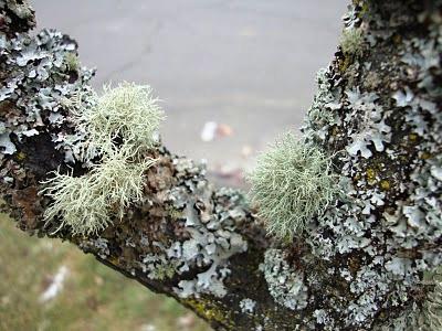 Болезни плодовых деревьев - борьба с мхом (4)