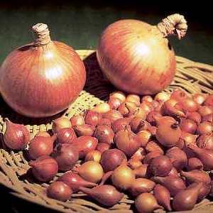 Лук репчатый - выращивание (3)