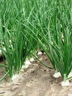 Лук репчатый - выращивание (4)