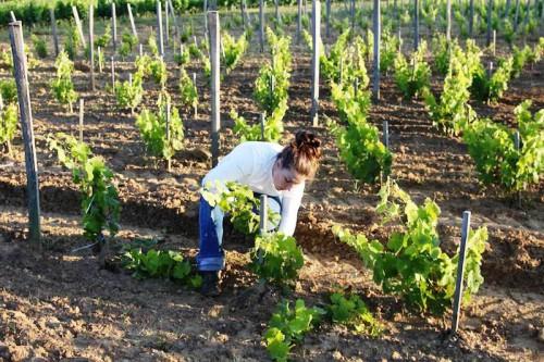 Подвязки для винограда - уход за виноградом (2)