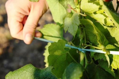 Подвязки для винограда - уход за виноградом (3)