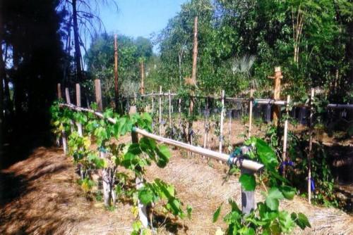Подвязки для винограда - уход за виноградом (6)