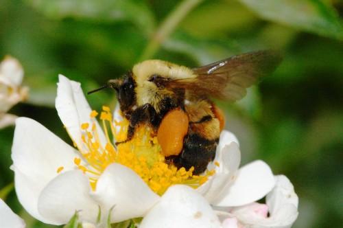 Пчеловодство для чайников - как заниматься пчеловодством (6)