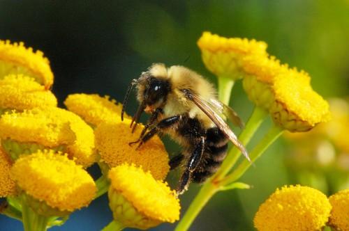 Пчеловодство для чайников - как заниматься пчеловодством (8)