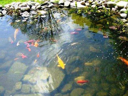 Разведение рыб в пруду (2)