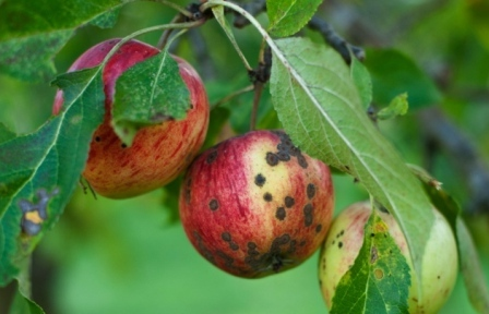 Болезни яблонь - парша (2)