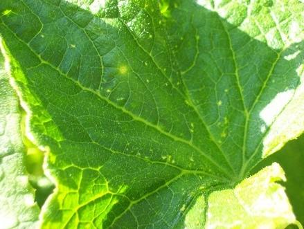 Почему у огурцов желтеют листья (3)